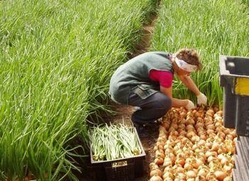 Тепличное выращивание лука и рукколы