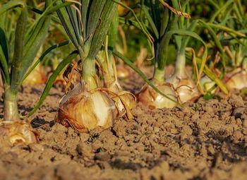 Высоко доходный бизнес по выращиванию лука - перо