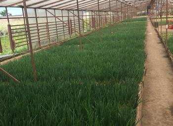 Луковая ферма с гарантированным сбытом.
