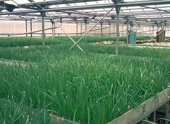 Теплица (производство зелени) в аренду