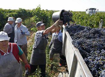 """Виноградник 50 Га. Бизнес по производству винного винограда """"под ключ"""""""