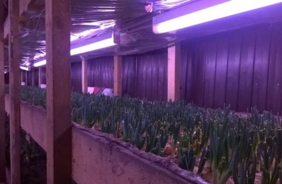 Производство зеленого лука (налаженный сбыт)