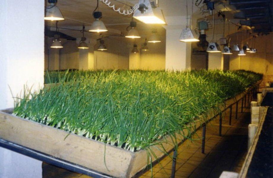 Производство зеленого лука (большая прибль)