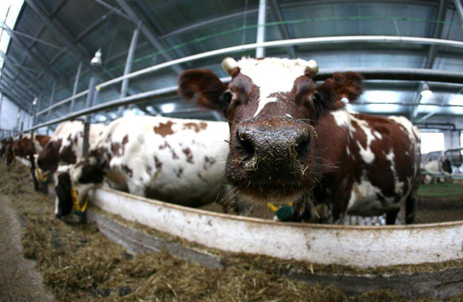 Крупная животноводческая ферма в Ленобласти